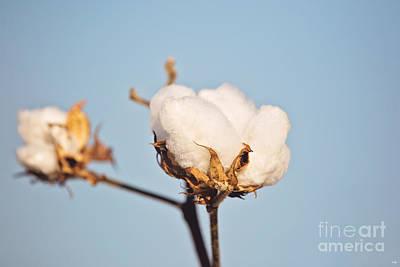 Cotton Boll Poster by Scott Pellegrin