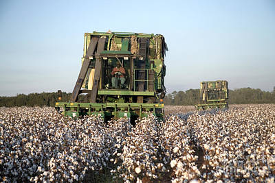 Cotton Harvest Poster by Inga Spence