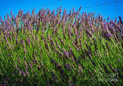 Country Lavender Iv Poster by Shari Warren