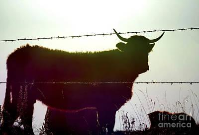 Cow Poster by Bernard Jaubert