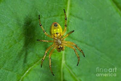 Cucumber Green Spider Poster by Steen Drozd Lund