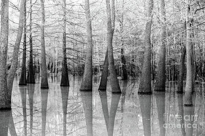 Cypress - Tupelo Swamp North Louisiana Bw Poster