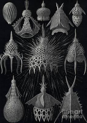 Cyrtoidea Poster by Ernst Haeckel