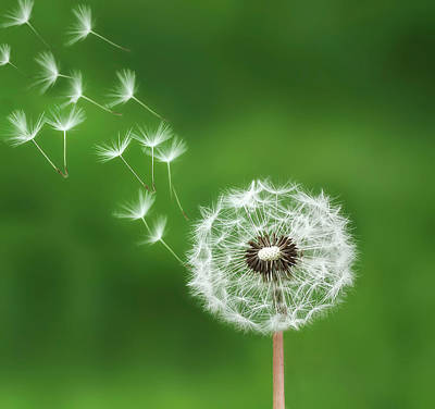 Poster featuring the photograph Dandelion by Bess Hamiti