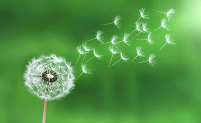Poster featuring the photograph Dandelion Seeds by Bess Hamiti