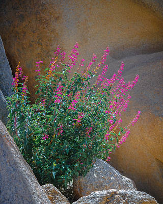 Desert Lupine Poster by Joseph Smith