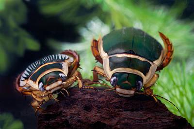 Diving Beetle Poster by Dirk Ercken