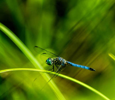 Dragonfly With A Strong Tailwind Poster by Douglas Barnett