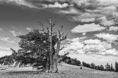 Dramatic View Of The Ancient Bristlecone Pine Forest. Poster