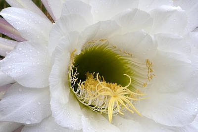Poster featuring the photograph Easter Lily Cactus by Phyllis Denton