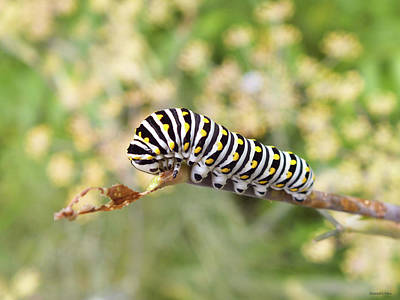 Eastern Black Swallowtail Caterpillar  Poster