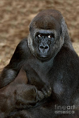 Eastern Lowland Gorilla Poster by Gerard Lacz