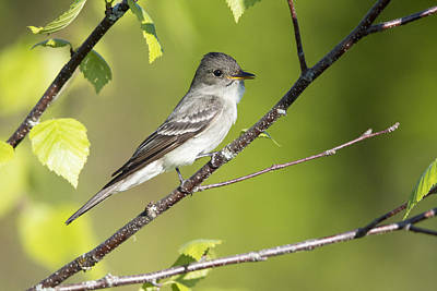 Eastern Wood Pewee Flycatcher Poster by Birds Only