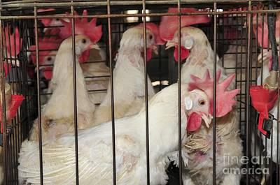 Egg Farming Poster