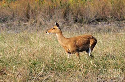 Elds Deer, Cambodia Poster by Fletcher & Baylis