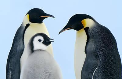 Emperor Penguin Aptenodytes Forsteri Poster