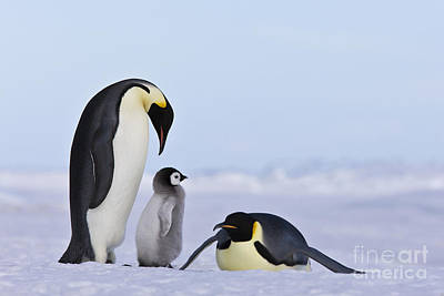 Emperor Penguins And Chick Poster