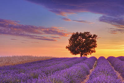 English Lavender Field With Tree At Sunset, Valensole, Valensole Plateau, Alpes-de-haute-provence, Provence-alpes-cote D Azur, Provence, France Poster by Martin Ruegner