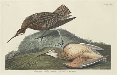 Esquimaux Curlew Poster by Rob Dreyer