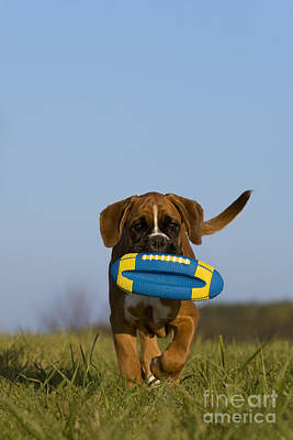 Fetching Boxer Puppy Poster