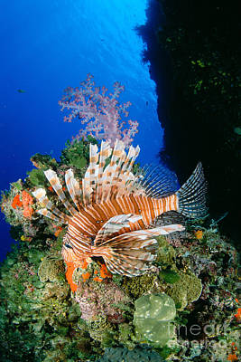 Fiji, Lionfish Poster by Dave Fleetham - Printscapes