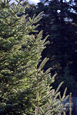Fir Tree Branches Poster by George Atsametakis
