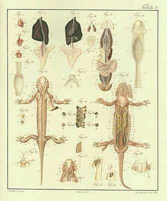Poster featuring the drawing Fire Salamander Anatomy by Christian Leopold Mueller