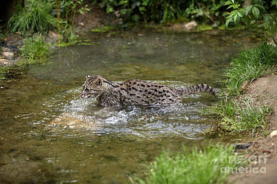 Fishing Cat Prionailurus Viverrinus Poster by Gerard Lacz