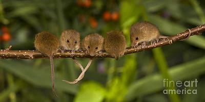 Five Eurasian Harvest Mice Poster