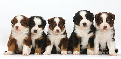 Five Miniature American Shepherd Puppies Poster by Mark Taylor