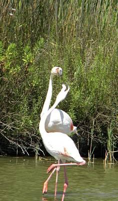 Flamingos Poster