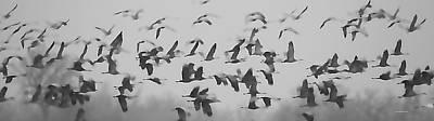 Flight Of The Sandhill Cranes Poster