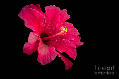 Floating  Hibiscus Poster by Robert Bales