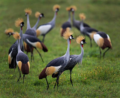 Flock Of Grey Crowned Cranes Balearica Poster by Panoramic Images