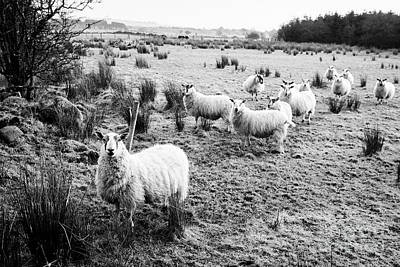 Flock Of Sheep In A Field Ballymena, County Antrim, Northern Ireland, Uk Poster