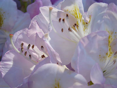 Floral Pastel Art Prints Nature Rhodies Rhodendrons Baslee Troutman Poster by Baslee Troutman