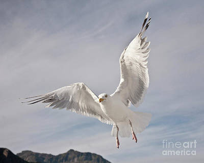 Flying European Herring Gull Poster by Heiko Koehrer-Wagner