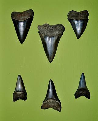 Fossil Mako Shark Teeth Poster