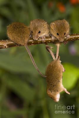 Four Eurasian Harvest Mice Poster by Jean-Louis Klein & Marie-Luce Hubert