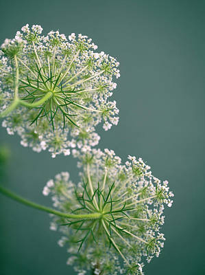 Fragile Dill Umbels On Summer Meadow Poster