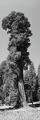 Giant Sequoia, Sequoia Np, Ca Poster