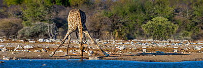 Giraffe Giraffa Camelopardalis Drinking Poster by Panoramic Images