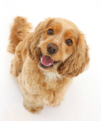 Golden Cocker Spaniel Poster by Mark Taylor