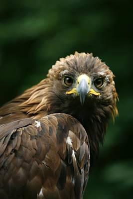 Golden Eagles Face Aquila Chrysaetos Poster by Deddeda