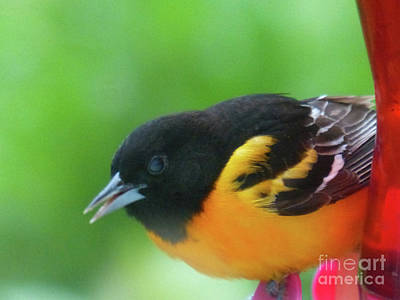 Good Morning Mr. Oriole Poster