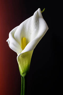 Graphic Calla Lily Poster by Garry Gay