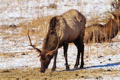 Grazing Bull Elk Poster by Jeff Swan