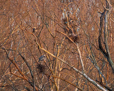 Great Blue Heron Nests Poster