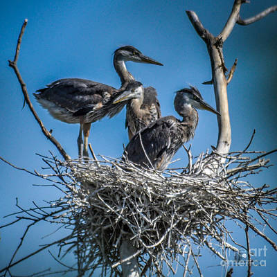 Great Blue Heron On Nest Poster