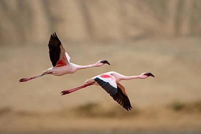 Greater Flamingos Phoenicopterus Roseus Poster